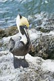 Cute Pelican Royalty Free Stock Image