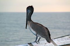 Cute pelican sitting and looking on water. Beautiful nature backgrounds royalty free stock image