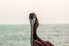 Cute pelican  sitting and looking on water. Beautiful nature backgrounds stock image