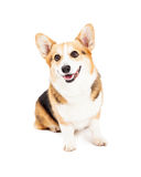 Cute Pembroke Welsh Corgi Dog Sitting Stock Image