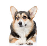 Cute Pembroke Welsh Corgi lying in front view. isolated on white Royalty Free Stock Photos