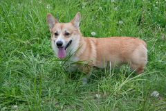 Cute pembroke welsh corgi puppy is standing in a green grass. Pet animals. Stock Photography