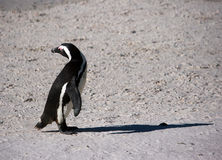 Cute penguin. On sand a cute penguin is looking back something Royalty Free Stock Photo