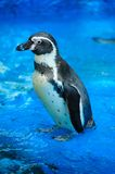 Cute penguin Royalty Free Stock Photos