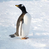 Cute penguin in a curious pose Royalty Free Stock Image