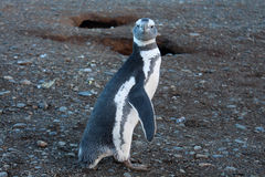Cute penguin in Magdalena Island Royalty Free Stock Photography