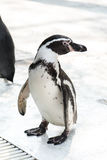 Cute penguin Royalty Free Stock Image