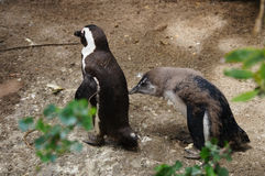 Cute penguins at Boulders Beach,Cape Town Royalty Free Stock Photography