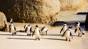 Cute Penguins Royalty Free Stock Photography