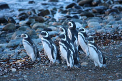 Cute penguins in Magdalena Island Royalty Free Stock Photos