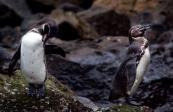 Cute penguins on a rock in the Galapagos Islands Royalty Free Stock Photography