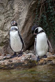 Cute penguins on rocks in water Stock Photography