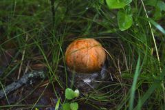 Cute penny bun mushroom is growing in the grass stock photo
