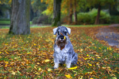 Cute pepper and salt mini schnauzer in autumn park. With leaves on his muzzle stock photography