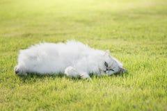 Cute persia cat lying Stock Photography