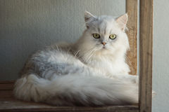 Cute Persia cat lying and looking Royalty Free Stock Photography