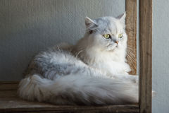 Cute Persia cat lying and looking Stock Images
