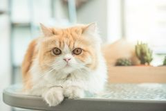 Cute persia cat on the table Royalty Free Stock Photo