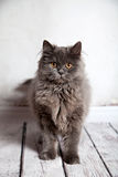 Cute Persian Cat Looking Royalty Free Stock Photography
