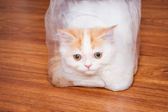 Cute Persian Cat in Plastic Wrap on Wood Floor Royalty Free Stock Image