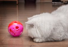 Cute persian cat playing with a pinky ball. Cute Persian cat playing with a pink ball, chinchilla cat Royalty Free Stock Image