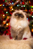 Cute persian cat sitting in front of a Christmas tree Royalty Free Stock Image