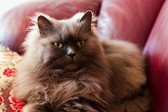 Cute persian colorpoint cat Fluffy called honey stock image