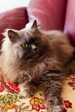 Cute persian colorpoint cat Fluffy called honey royalty free stock photography