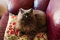 Cute persian colorpoint cat Fluffy called honey stock photography