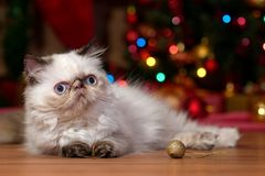 Cute persian kitten in front of a Christmas tree stock photo