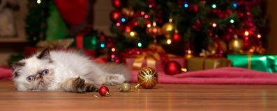 Cute persian kitten lies in front of a Christmas tree stock photography