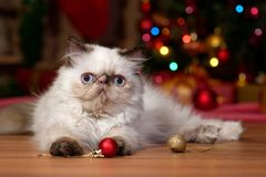 Cute persian kitten is playing with Christmas balls stock photo
