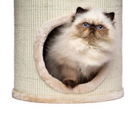 Cute persian colourpoint kitten is looking out from a cat tower Stock Photography