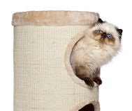 Cute persian colourpoint kitten is looking out from a cat tower Stock Photos