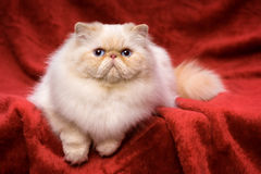 Cute persian cream colorpoint cat is lying on a red velvet Stock Photo