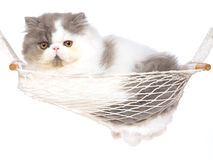 Cute Persian kitten in hammock Stock Image