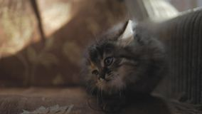 Cute persian kitten at home. Curious gray kitten. Small pet. stock footage