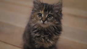 Cute persian kitten at home. Curious gray kitten. Small pet. stock video footage