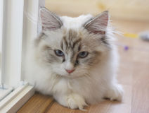 Cute Persian Munchkin cat in white and grey color and blue eyes. Royalty Free Stock Images