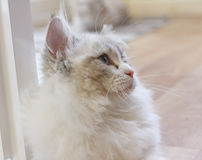 Cute Persian Munchkin cat in white and grey color and blue eyes. Stock Photo