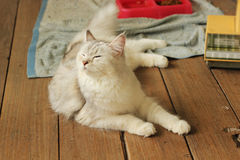 Cute persian plus maine coon cat lying on wooden floor. At home Royalty Free Stock Photography
