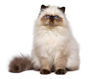 Cute persian seal colourpoint kitten is sitting frontal Royalty Free Stock Photo