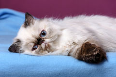Cute persian tortie colorpoint kitten is lying on a blue bedspread Stock Photos