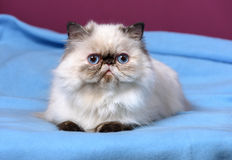Cute persian tortie colorpoint kitten is lying on a blue bedspread Stock Photography