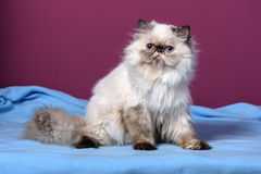 Cute persian tortie colorpoint kitten is sitting on a blue bedsprea Stock Image