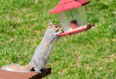 Squirrel steals seeds from bird feeder. Cute but pesky grey squirrel steals seeds from a hanging bird feeder stock images