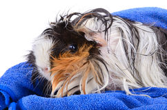 Cute pet after bath stock image