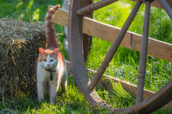 Cute pet cat with a collar and bell in bright morning sun beside a hay bale. Stock Photo