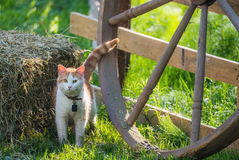 Cute pet cat with a collar and bell in bright morning sun beside a hay bale. Stock Image