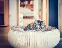 Cute pet cat sitting in his basket with pillows and looking at the camera Royalty Free Stock Photography